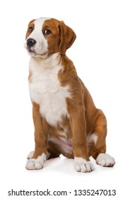 Swiss mountain dog puppy isolated on white background