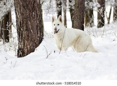 Swiss Shepherd Dog, looking
