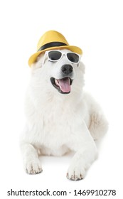 Swiss shepherd dog in sunglasses and hat on white background