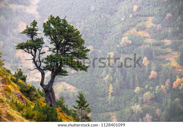 Swiss stone pine/Arolla pine is a symbol of high latitude mountains. This pine tree grows in the Alps and Carpathian Mountains of central Europe. High Tatras, Slovakia. Natural background.