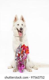 Swiss white shepherd dog with Easter egg