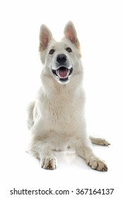 swiss white shepherd in front of white background