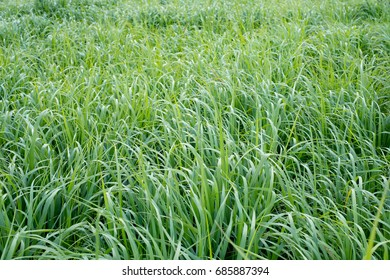 Switchgrass (Panicum virgatum) for Biofuel Production