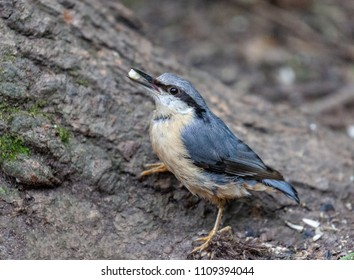 Swithland Woods, Leicestershire, England, June 9 2018: A Nuthatch climbing tree and feeding in Swithland woods. Beautiful coloration and some movement images.