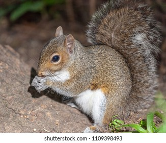 Swithland Woods, Leicestershire, England June 9 2018: Grey Squirrel climbing tree trunk and feeding on the ground. Closeup of face and paws looking extremely cute.