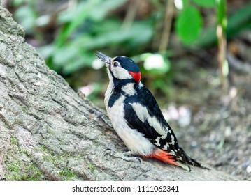 Swithland Woods, Leicestershire, England June 11 2018: Greater Spotted Woodpecker in closeup as it climbs a tree in wooded forest.