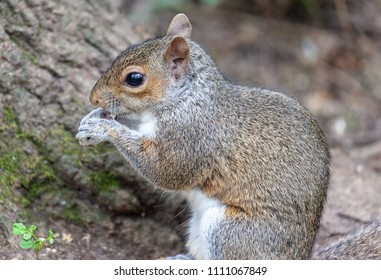 Swithland Woods, Leicestershire, England June 11 2018: Friendly Grey Squirrel looking for food in Swithland Woods