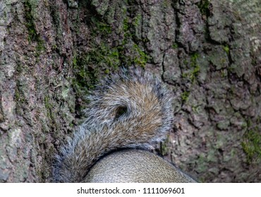 Swithland Woods, Leicestershire, England June 11 2018: Grey Squirrel bushy tail and feet against a background of tree bark