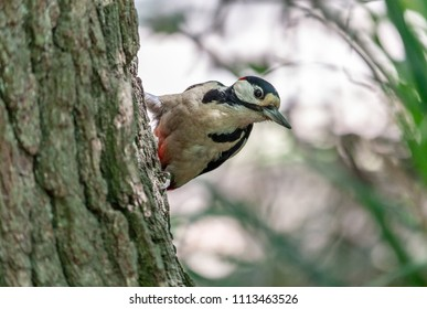 Swithland Woods, Leicestershire, England, June 11 2018: Greater Spotted Woodpecker on the trunk of a tree seeking insects as food. very closeup with out of focus background.