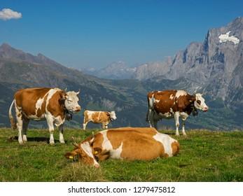 Switzerland, Bern Canton, Mannlichen area, Swiss cows in alpine setting