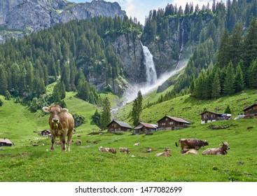 Switzerland landscape panorama with cows and green nature. Swiss Alps village Asch (Äsch), near Altdorf Waterfall, Unterschachen (Unterschächen), canton of Uri, Switzerland.