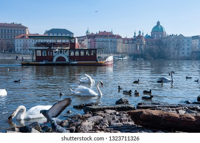 Swns on the river Vltava in Prague near Charles Bridge.