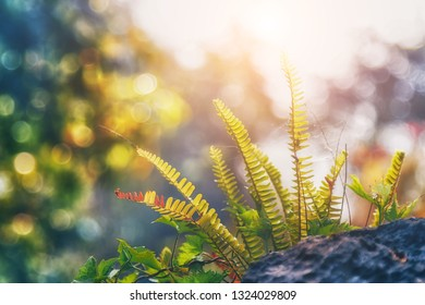 Sword Fern, Fishbone Fern. Beautiful fern leaves green foliage natural floral fern background in sunlight. soft and selective focus
