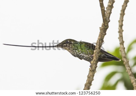 Sword-billed Hummingbird, Ensifera ensifera, at Yanacocha Reserve in Ecuador
