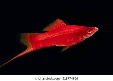 Swordtail red color males in the dark (selective focus)