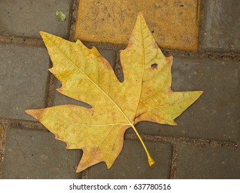 Sycamore fallen leaf on wet pavement