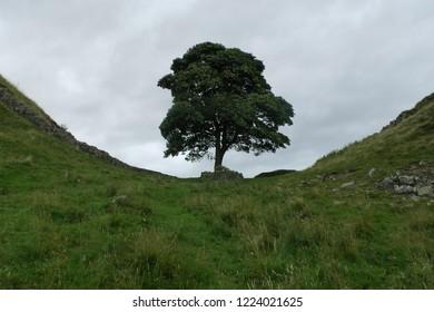 sycamore gap Robin Hood tree