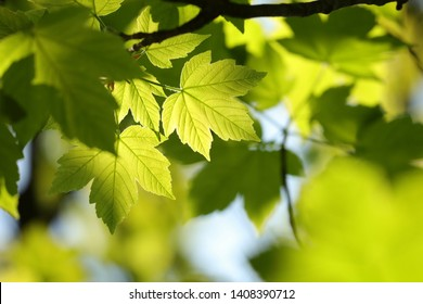 Sycamore maple leaves in the forest.