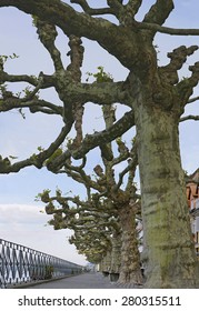 Sycamore promenade in Meersburg