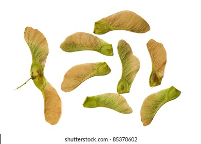 Sycamore seeds isolated on white.