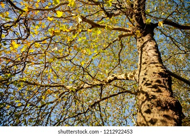 Sycamore tree in autumn in the Uk