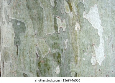 Sycamore tree bark close up. Background of plane tree bark, plane tree bark texture.