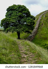 A sycamore tree in a dip in the landscape beside Hadrian's Wall in Northumberland. Known as Sycamore Gap. Featured in the movie Robin Hood: Prince of Thieves
