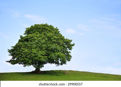 Sycamore tree in full leaf in a field summer with a blue sky and clouds to the rear.