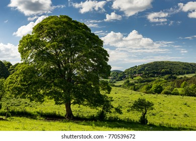 A sycamore tree with Hawnby in the background in the north York moors national park.