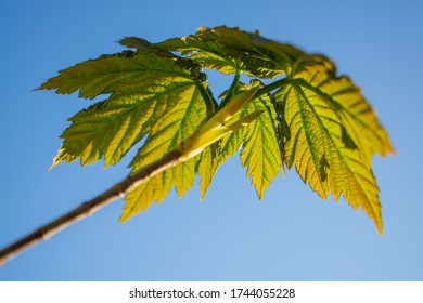 Sycamore tree leaves against blue sky