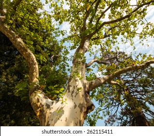sycamore tree in the park, summer season