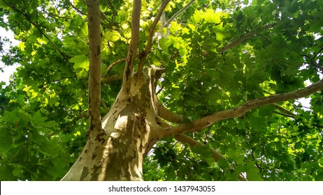 Sycamore tree. Platanus orientalis. Spotted plane tree trunk under sunlight. Bottom view. Park trees edition