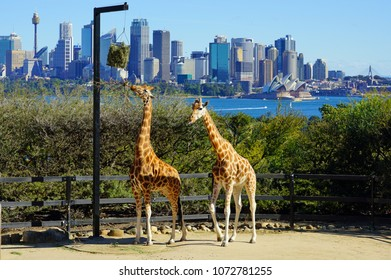 SYDNEY, AUSTRALIA -5 AUG 2017- Two giraffes at Taronga Zoo with a view of the Sydney Harbour and Sydney skyline in the background.