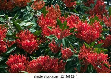 Sydney Australia, canopy of alloxylon flammeum or queensland tree waratah