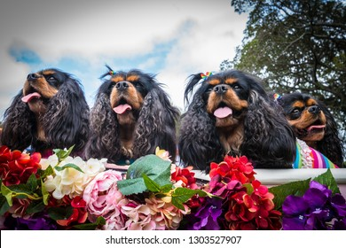 Sydney, Australia - Febuary 18, 2018: Four beautiful dressed up Cavalier King Charles Spaniels to be paraded at Mardi Gras Doggywood contest held at Victoria Park, Camperdown.