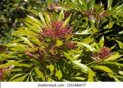Sydney Australia, flowering dorrigo waratah tree native to NSW and Queensland