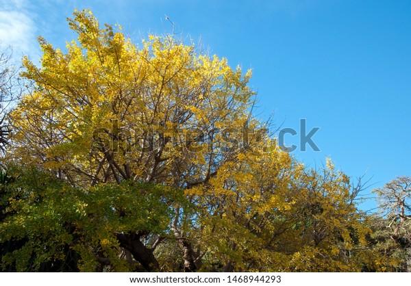 Sydney Australia Golden Leaves Ginkgo Biloba Stock Image
