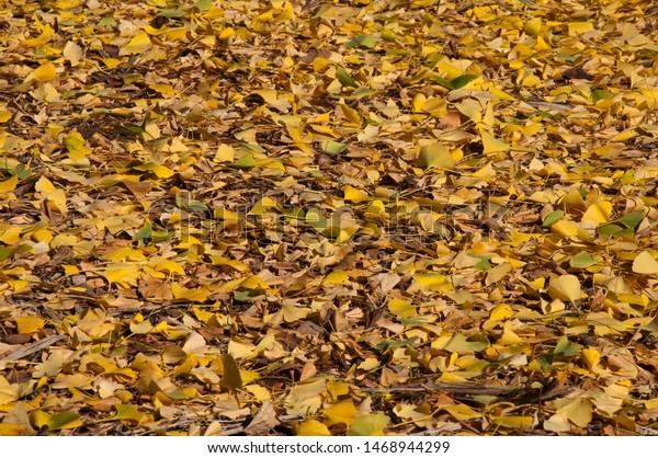 Sydney Australia Golden Leaves Ginkgo Biloba Stock Photo Edit Now