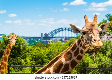 Sydney, Australia - January 11, 2014 : Giraffe at Taronga Zoo in Sydney with Harbour Bridge in background. Taronga Zoo is the city zoo of Sydney and is located on the shores of Sydney Harbour