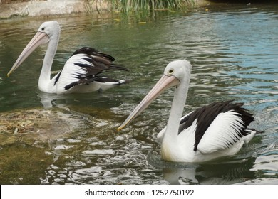 SYDNEY, AUSTRALIA - NOVEMBER 22, 2018: TheAustralian pelicanis a large waterbird and is a predominantly white bird with black wings and a pink longest bill at Featherdale Wildlife Park, Australia.