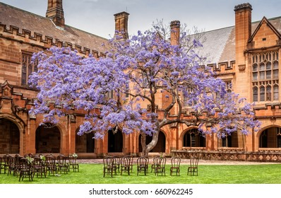 Sydney, Australia -October 31, 2015: Jacaranda at Sydney University Quadrangle used to make such a nice backdrop for the graduation photos. Unfortunately, the tree was uprooted and no longer there.
