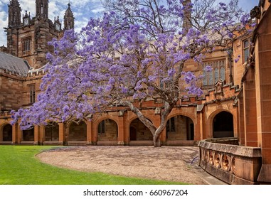 Sydney, Australia -October 31, 2015: The purple Jacaranda tree in bloom is softening the Gothic Revival Architecture of the historic buildings at the Quadrangle at Sydney University, Australia.
