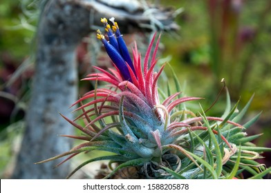 Sydney Australia, purple flowering tillandsia or airplant an epiphyte