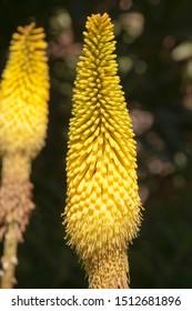 Sydney Australia, yellow flower spike of a Kniphofia plant