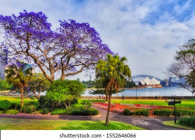 Sydney garden and city park on shores of Harbour in spring season when Jacaranda trees blossom with violet flowers in front of major city landmarks on a sunny day.