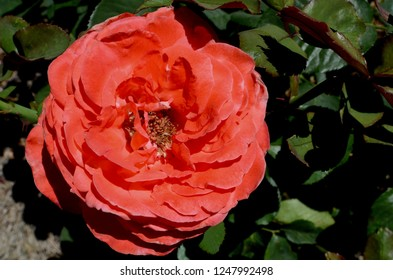 Sydney, New South Wales, Australia. December 2018. A brilliant red rose in a sunny garden. Artistry is a hybrid tea by Keith Zary.