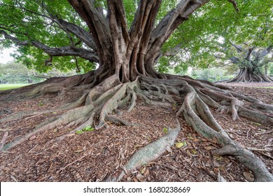 Sydney, New South Wales ; March 16th, 2020 - An old fig tree on Macquarie Road on edge of public Royal Botanic Gardens, Sydney, Australia.