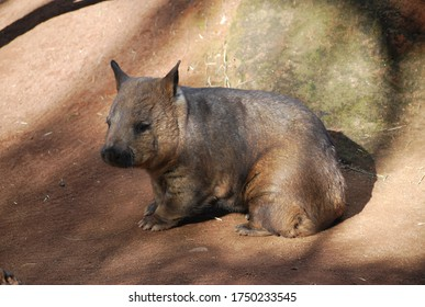 Sydney, NSW, Australia, 06.03.2020. Cute Southern  Hairy-nosed Wombat  in Featherdale wildlife park