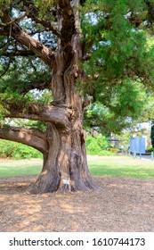Sydney NSW Australia Dec 1st 2019 - Juniperus Bermudiana at Royal Botanic Gardens on a hazy summer afternoon