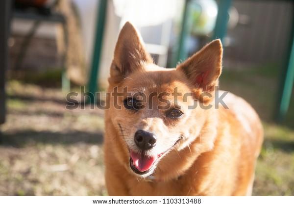 Sydney, NSW/ Australia - May 19 2018: an adorable dog
